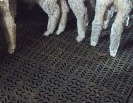 sheep_on_tuffdeck_closeup1